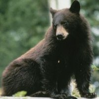 mishi-bear