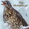 The Mistlethrush