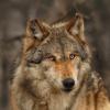 wolfensong